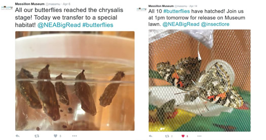 Two screenshots from Massillon Museum Twitter. First shows five butterflies at the chrysalis stage. Second shows butterflies after hatching