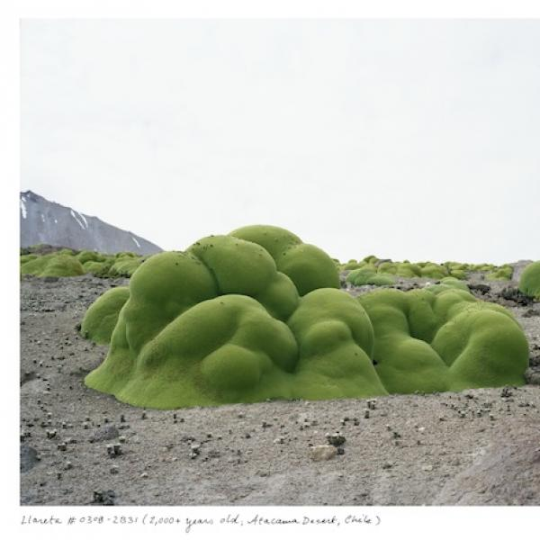Rachel Sussman's photograph of a group of blob-like green bushes of the llareta plant in Chile's Atacama Desert