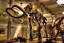 Columbian mammoth skeleton at the American Museum of Natural History