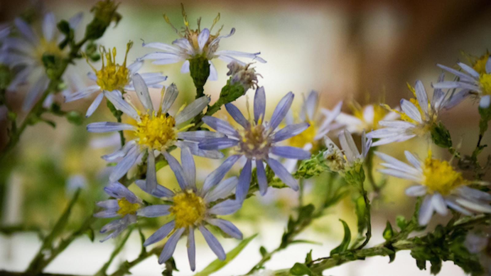 close-up of glass model of aster flowers at Harvard Museum of Natural History
